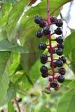 Ripe poke weed berries stock photography