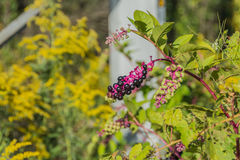 Ripe Pokeweed Berries Stock Photo