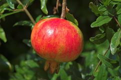 Ripe pomegranate. A ready ripe pomegranate to eat Royalty Free Stock Photo
