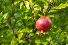Ripe pomegranate Stock Image