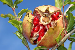 Ripe pomegranate. Closeup of a ripe pomegranate on the tree Royalty Free Stock Images