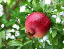 Ripe pomegranate on the branch. stock photos