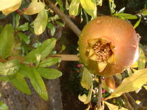 Ripe pomegranate fruit stock photos