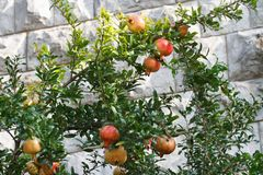 Ripe pomegranate fruit on a branch Royalty Free Stock Images