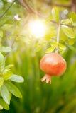 Ripe pomegranate fruit Royalty Free Stock Images