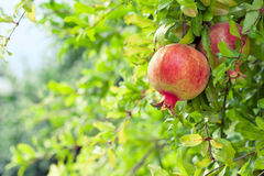 Ripe Pomegranate Fruit On Branch In An Orchard Stock Image