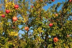 Ripe pomegranate fruit on the tree. Autumn. Stock Photos