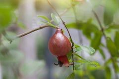 Ripe pomegranate fruit on tree on nature background. royalty free stock photography
