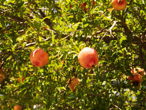 Ripe pomegranate fruit on tree branch Royalty Free Stock Photography