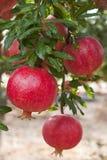 Ripe pomegranate fruit  on  tree branch. Royalty Free Stock Photography