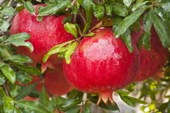 Ripe pomegranate fruit  on  tree branch. Stock Image
