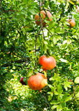 Ripe pomegranate fruit in tree Royalty Free Stock Photo