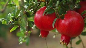 Ripe pomegranate fruits growing on tree. Beautiful red pomegranate on tree. Fresh fruits on the branch of tree. sunshine