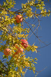 Ripe pomegranate fruits in the tree. Agains blue sky Stock Photography