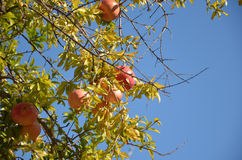 Ripe pomegranate fruits in the tree. Agains blue sky Royalty Free Stock Photography