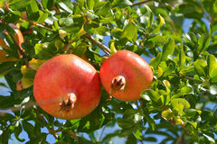 Ripe pomegranate fruits in the tree. Two pomegranate fruits on a tree branch in Greece Stock Photo