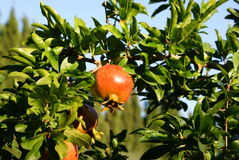A ripe pomegranate hanging from a tree Stock Image