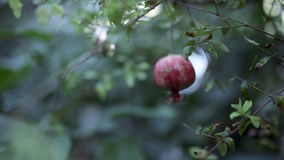 Ripe pomegranate hanging on a tree, next to. Wedding rings. Close-up stock video
