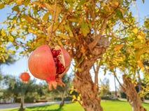 Ripe pomegranate hangs on the tree stock image