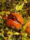 Ripe pomegranate Royalty Free Stock Image
