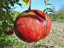 Ripe pomegranate on tree. Close up of ripe red pomegranate on tree royalty free stock photo