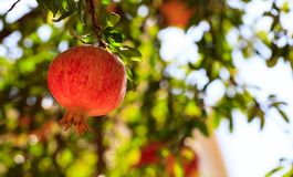 Ripe pomegranate on the tree branch Royalty Free Stock Images