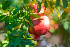 Ripe pomegranate. Tree branch with ripe and red pomegranate fruit Stock Images