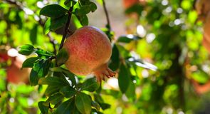 Ripe pomegranate on the tree branch Stock Image