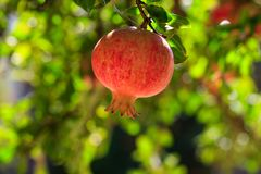 Ripe pomegranate on the tree branch Royalty Free Stock Image