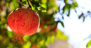 Ripe pomegranate on the tree branch Royalty Free Stock Photography