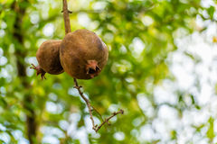 Ripe pomegranate on the tree. Ripe pomegranate hanging on the tree royalty free stock images