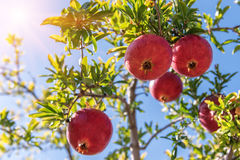 Ripe pomegranate on the tree Stock Photos