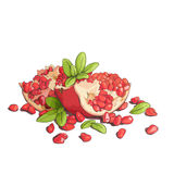 Ripe pomegranates illustration Royalty Free Stock Image