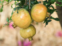 Ripe Pomegranates on the tree. Ready to pick royalty free stock images