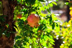 Ripe pomegranates on the tree branch Royalty Free Stock Photography