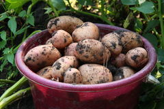 Ripe potato Royalty Free Stock Photos