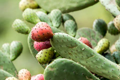 Ripe Prickly pair cactus Royalty Free Stock Photo
