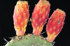 Ripe prickly-pear cactus fruit. Royalty Free Stock Images