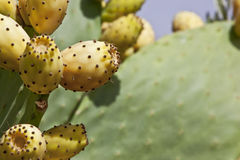 Ripe prickly pears on cactus. Close-up of ripe prickly pears on cactus Royalty Free Stock Photo