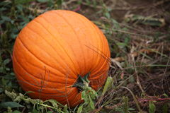 Ripe pumpkin. Closeup of single ripe, orange pumpkin Royalty Free Stock Image