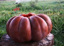 Ripe pumpkin Royalty Free Stock Image