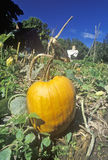 Ripe pumpkin in field Royalty Free Stock Photos