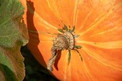 Ripe pumpkin on the garden. royalty free stock photo