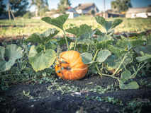 Ripe pumpkin in the garden Stock Photography