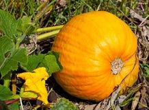 Ripe pumpkin lies in a farm field, autumn day Royalty Free Stock Photos