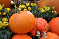 Ripe pumpkin lies in a farm field Royalty Free Stock Photography