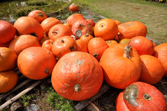 Ripe pumpkin lies in a farm field Stock Images