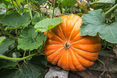 Ripe pumpkin Stock Photo