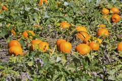 Ripe pumpkin patch in East Windsor, Connecticut. Royalty Free Stock Images