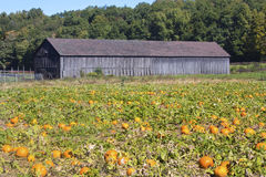 Ripe pumpkin patch in East Windsor, Connecticut. Royalty Free Stock Image